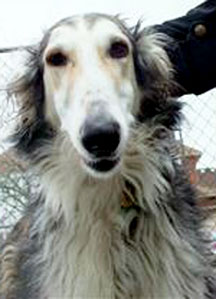 Margery Armstrong's Borzoi dog, Leonie